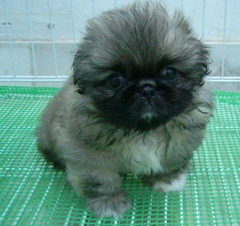 Pekingese Puppies on Pekingese Puppy Best Pictures   Puppy Photos Collection