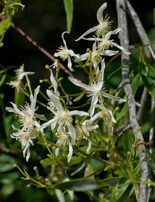 White Clematis (Clematis pubescens)