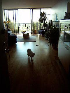 Gato disfrutando de andar por suelo laminado de parquet.