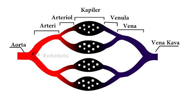 Pembuluh Arteri, Kapiler dan vena - Pembuluh darah - echotuts
