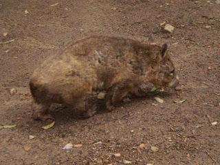 Wombat, Currumbin Wildlife Sanctuary review, Gold Coast