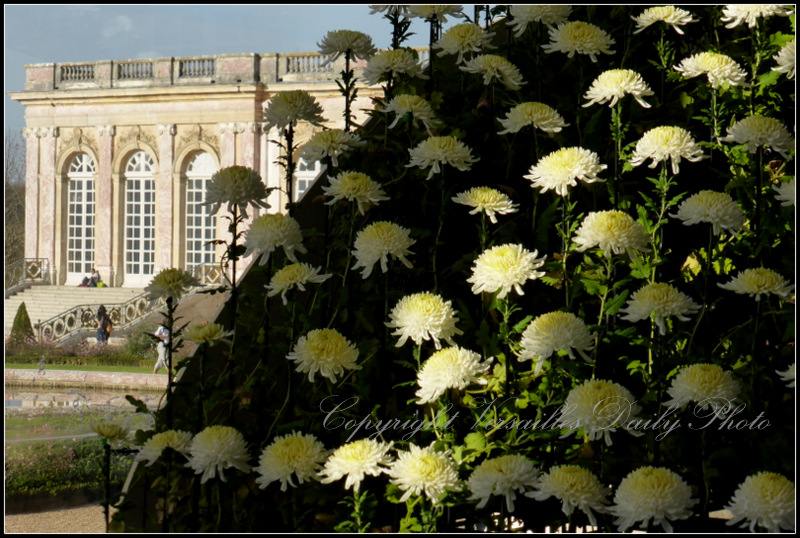 Ozukuri chrysanthemums Grand Trianon Versailles