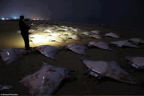 Puluhan Ikan Pari Terdampar, Berkah bagi Warga Gaza Palestina