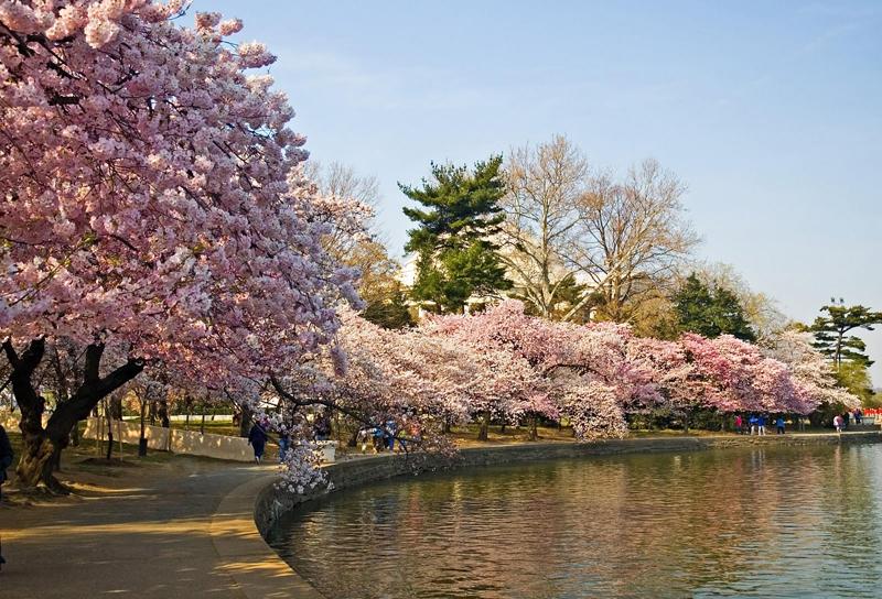 foto-foto-pemandangan-bunga-sakura-jepang-4.jpg