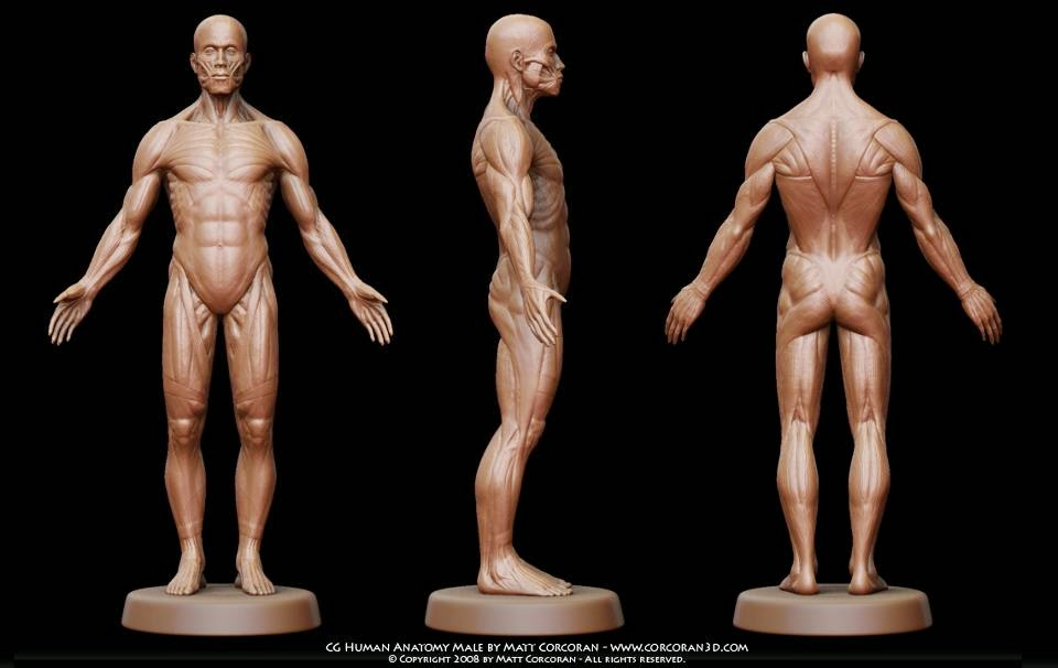 Male body anatomy