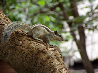 indian palm squirrel