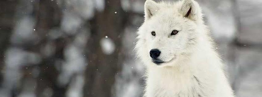 Couverture facebook de loup blanc
