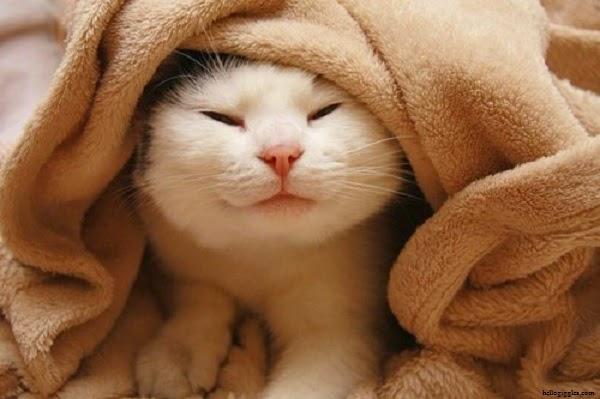 Photo chat drôle et mignon sous la couverture