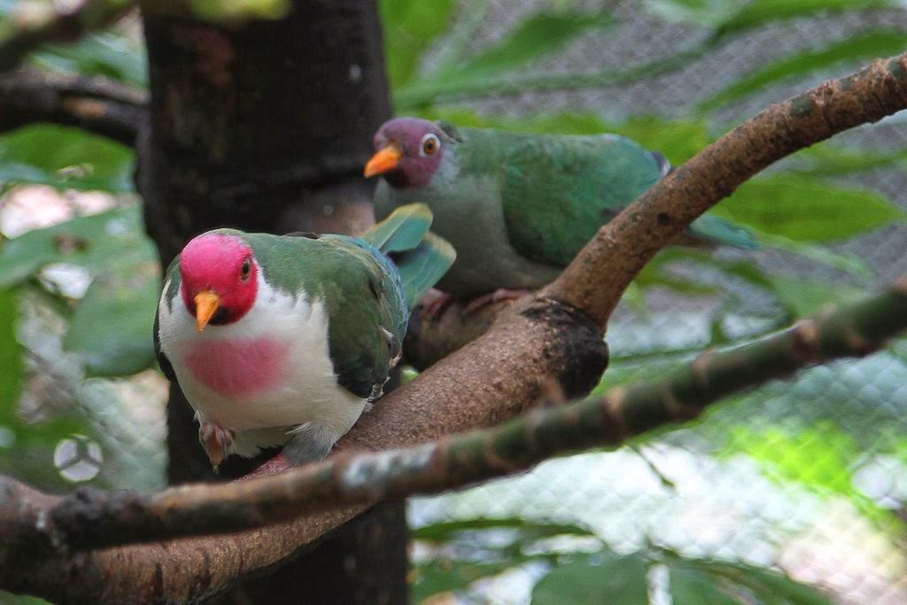 jambu fruit dove flying - photo #2