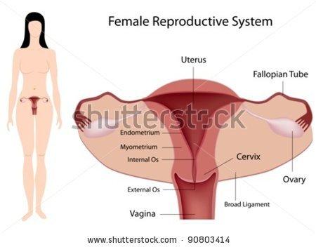Female Anatomy Nerdygirlanatomy