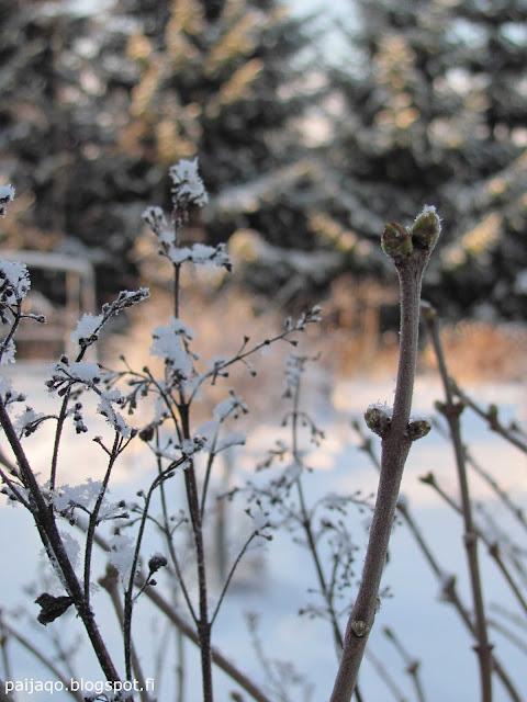 talvi: syreeni