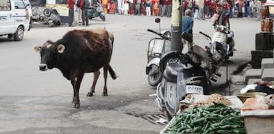 christmas cow attack onitsha
