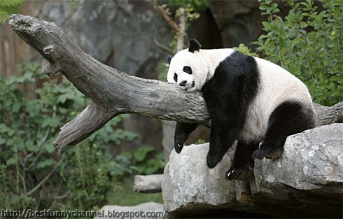 Cute and funny pictures of animals 67 pandas 6 funny panda voltagebd Choice Image