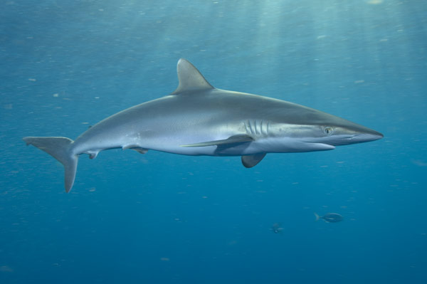 Learn Interesting Shark Facts About The Silky Shark - Shark Sider