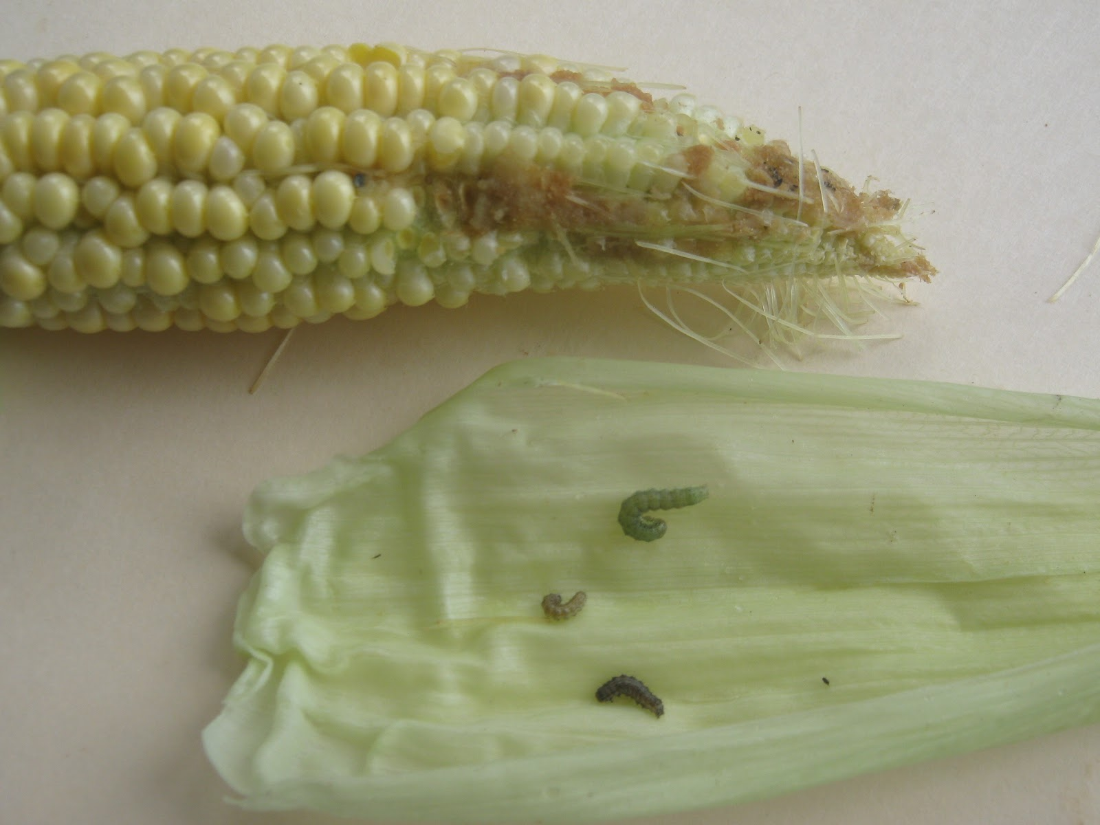 Garden Guy Hawaii: The Corn Earworm
