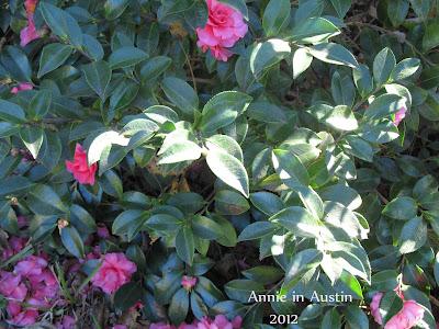 Annieinaustin, Camellia shishi gashira