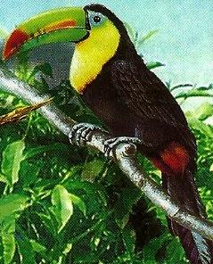 Tucán con pico vistoso (de colores)