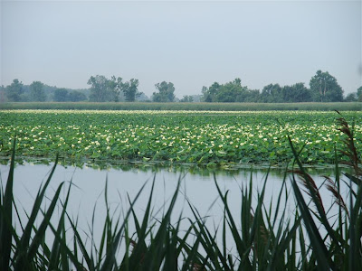 american lotus plants, fields, michigan