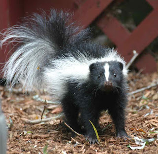 how to get skunks away from your house