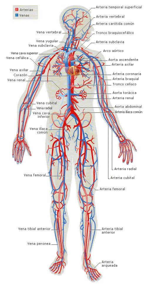 el aparato circulatorio: el aparato circulatorio