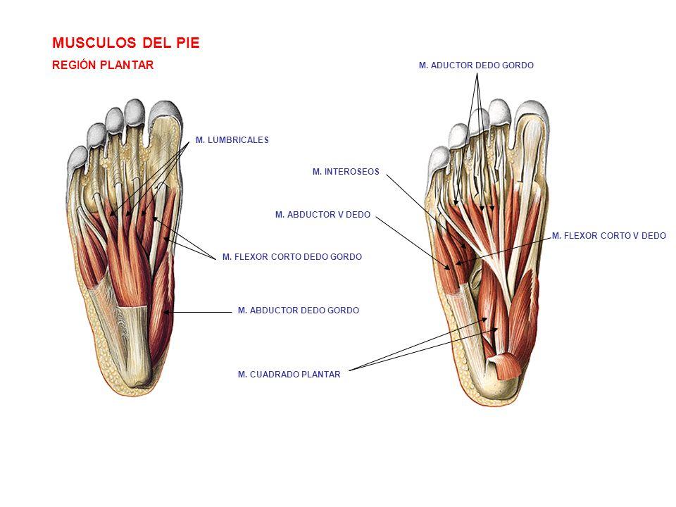 Lujoso Anatomía Del Pie Externa Modelo - Imágenes de Anatomía Humana ...