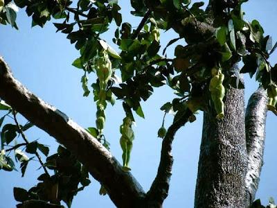 شجرة تنبت نساء