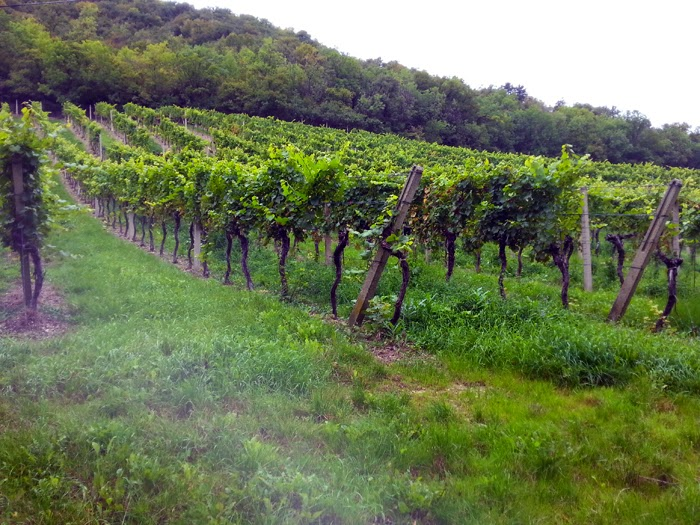 Wineyards in Kahlenberg