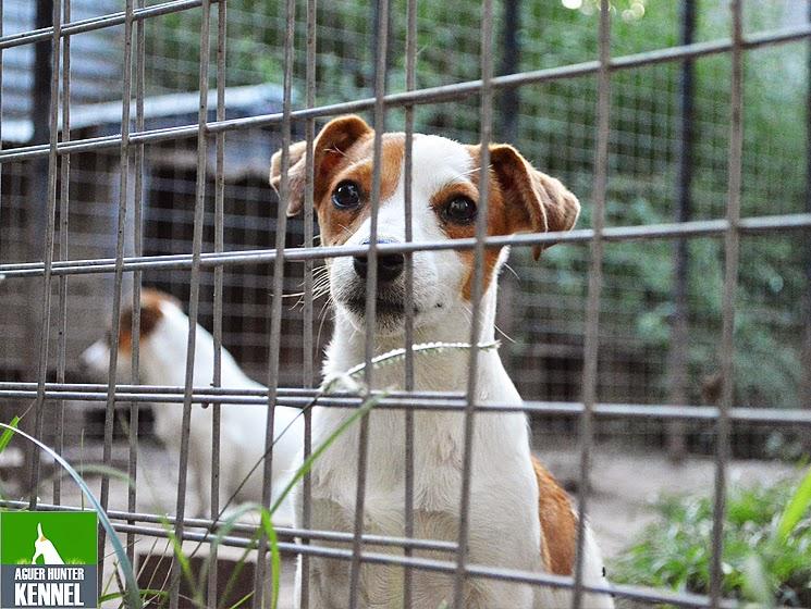 Criadero de Jack Russell Terrier Aguer Hunter