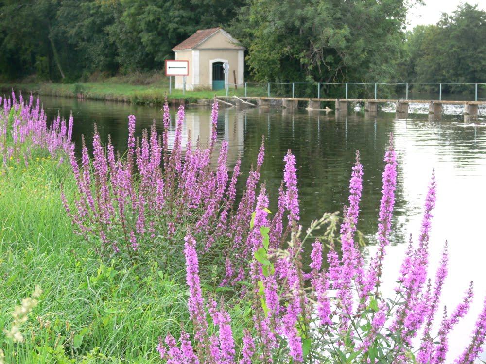 salicaire au bord du canal