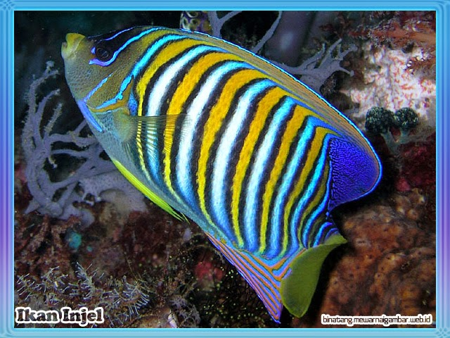 gambar ikan injel
