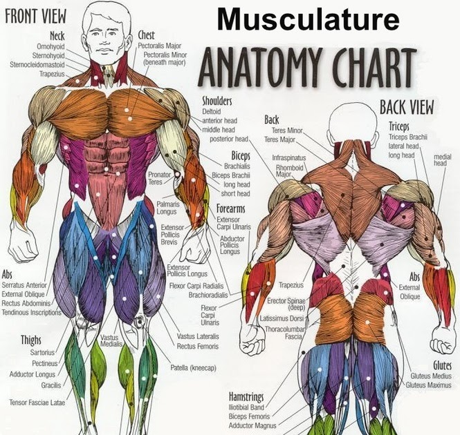 Team Indian Bodybuilding: Study Parts of your Muscle