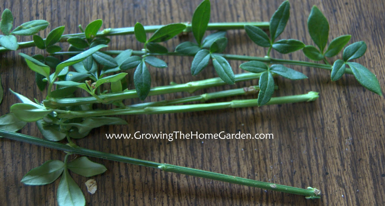 Taking advantage of aerial roots growing the home garden roots or no roots sticking the nodes into the rooting medium usually brings good results without rooting hormone winter jasmine roots well pretty much izmirmasajfo Image collections