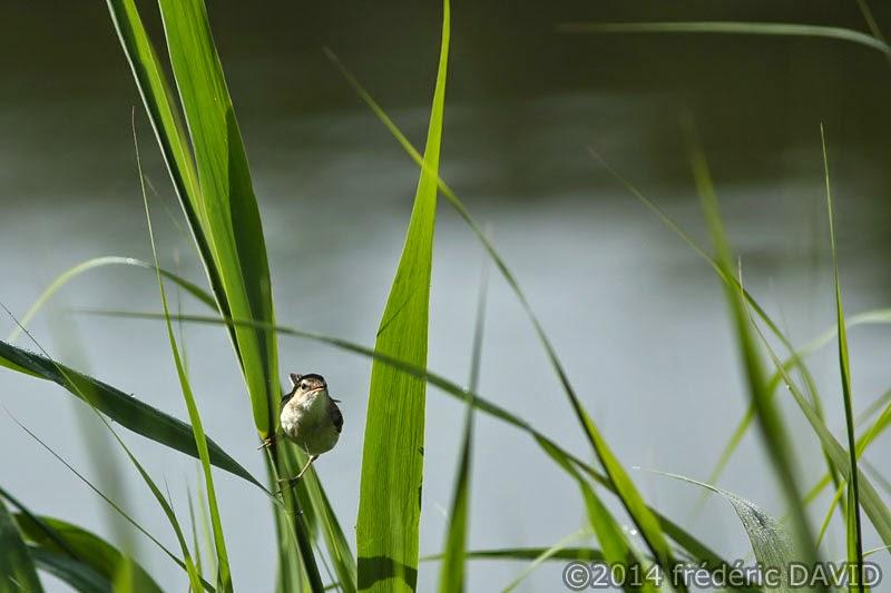 animaux oiseaux joncs phragmite Misery Essonne