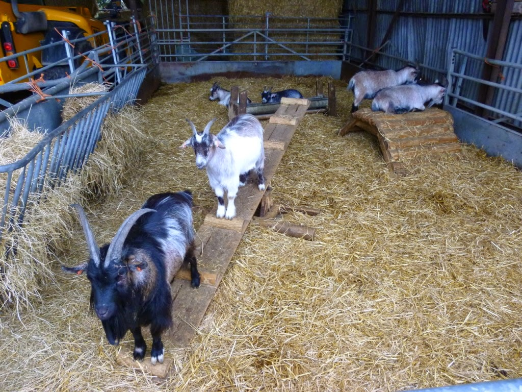 Crazy Goats at Mead Open Farm in Billington, Bedfordshire!