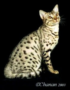Kucing Bahrain Dilmun