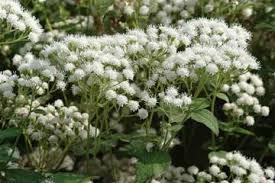Ageratina Altissima - Planta Venenosa