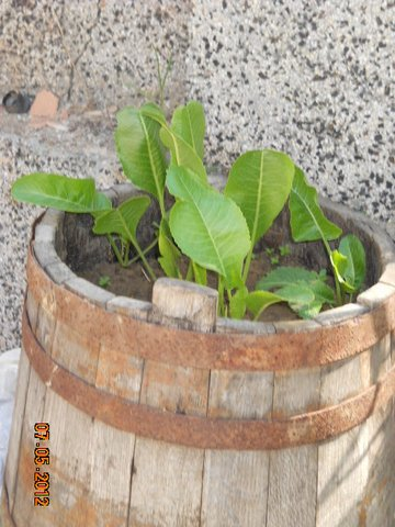 Хрен выращивание на даче
