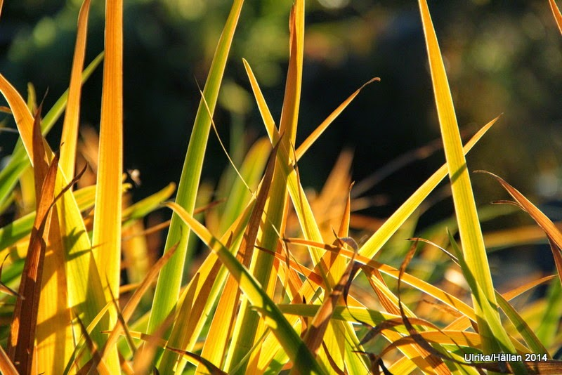 Tuviris Iris setosa