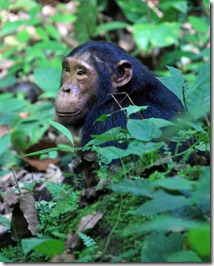 A wild chimp in Kyambura Gorge - Uganda