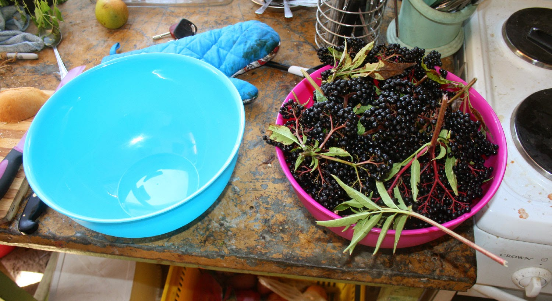 Lots of Elderberries