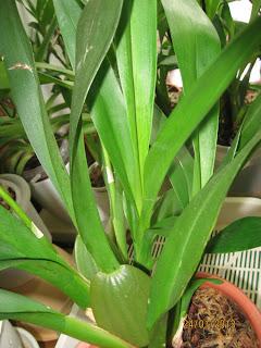 Oncidium (colmanara) Jungle Monarch - молодой побег
