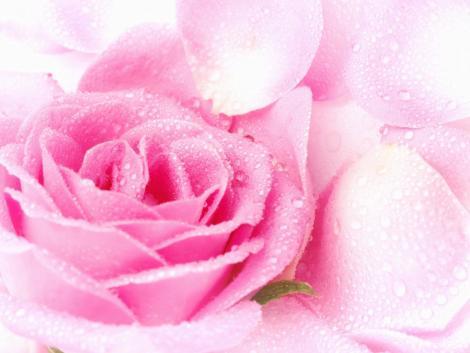 rose flower wallpaper. flower wallpaper rose. flower