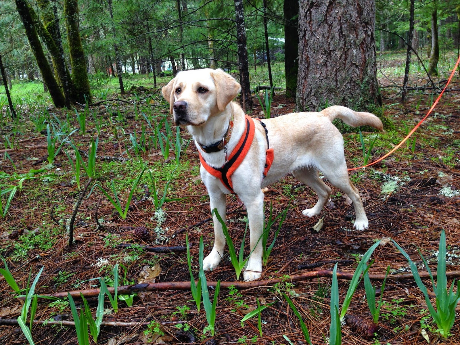 Gucci (yellow Lab) stands very attentively with her ears up and orange harness on in the forest.