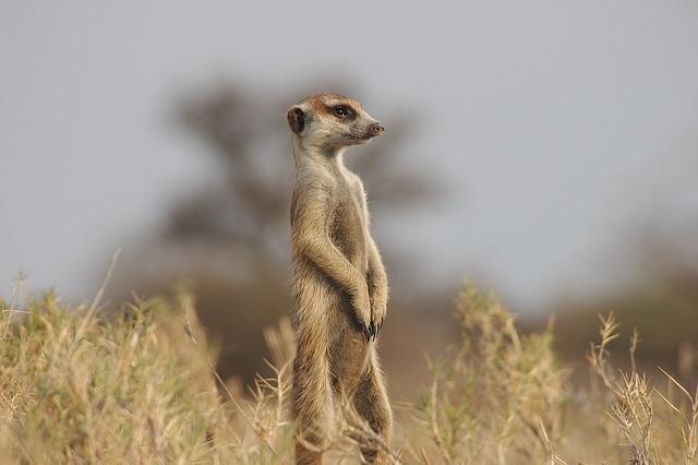 Meerkat timon