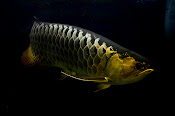 Arowana photos for sale