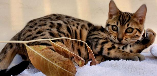 6 Interestin... Cat That Looks Like A Tiger Breed