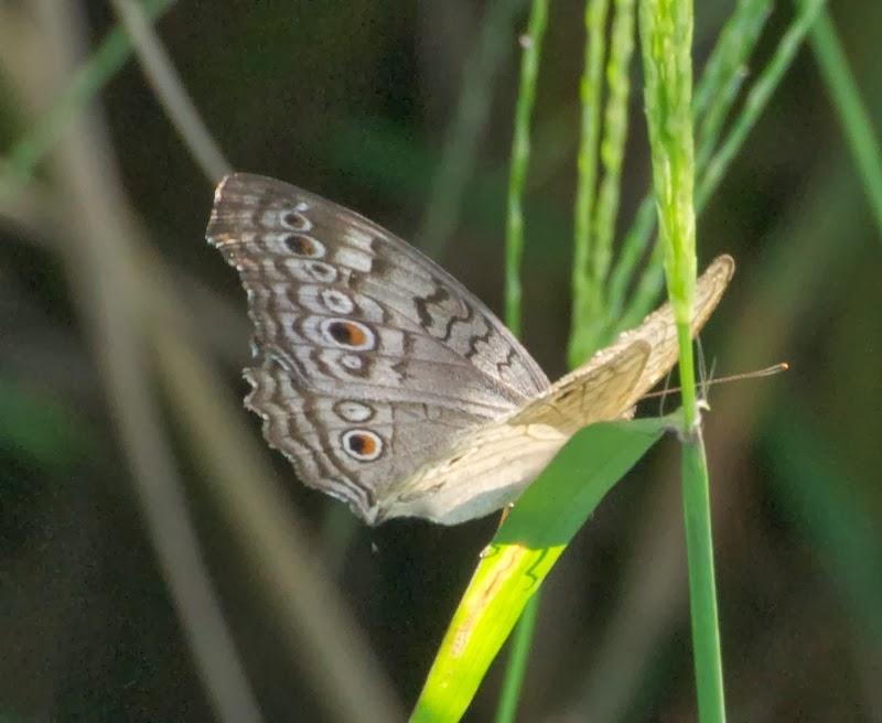 Grey Pansy (Junonia atlites)