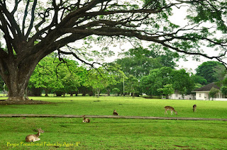 Rusa Hidup bebas di halaman Istana Bogor