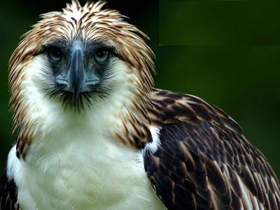 Philippine Eagle Wallpaper