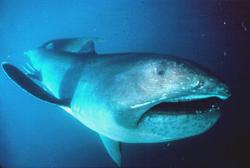 Megamouth Fish  - Hewan Teraneh